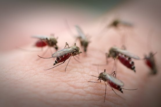 Mosquitoes feasting on a human skin
