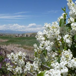 White lilacs in the foreground with the Rocky Mountains in teh background and beautiful blue sky