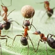 Team of ants playing football with pepper seed