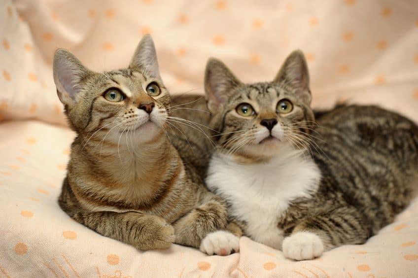 two striped cat close