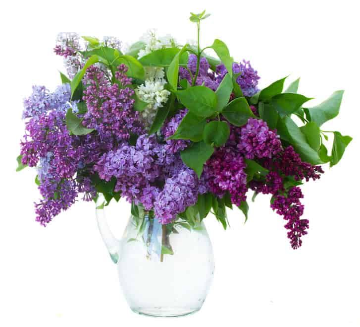 bunch-of-fresh-lilac-flowers-in-glass-vase-close-up-on-white-background