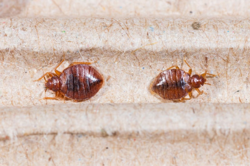 Two fullly grown bedbugs burrowed in the folds of a mattress