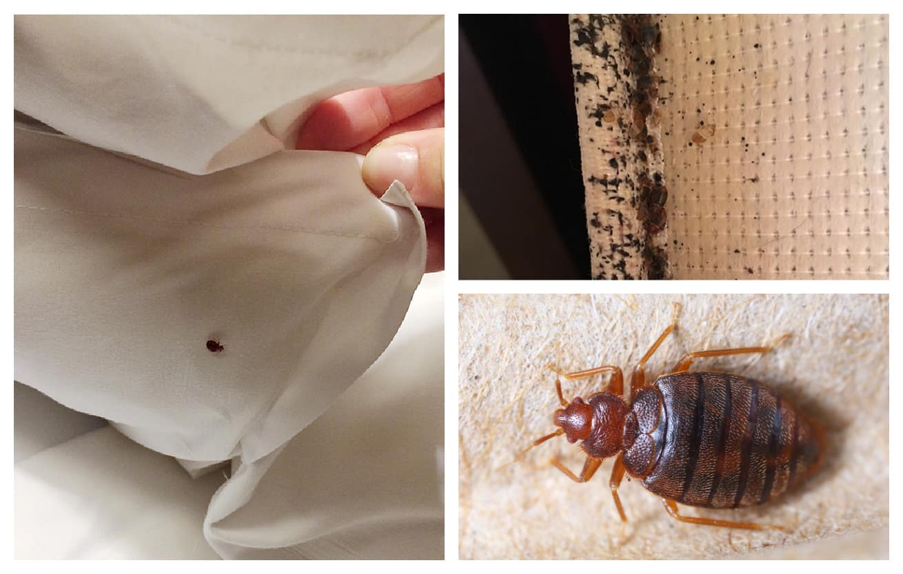 collage showing bedbugs in bed on sheets and mattress