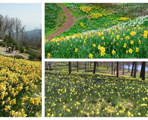 daffodil collage