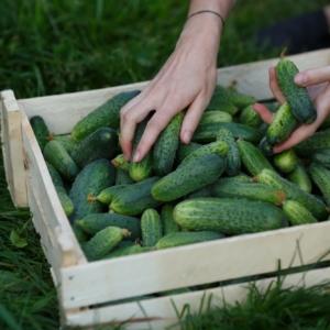 Cucumber and Harvest