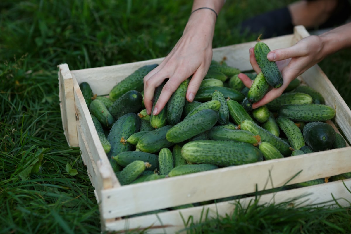 Woman sorting cucumbers out of freshly harvested ones