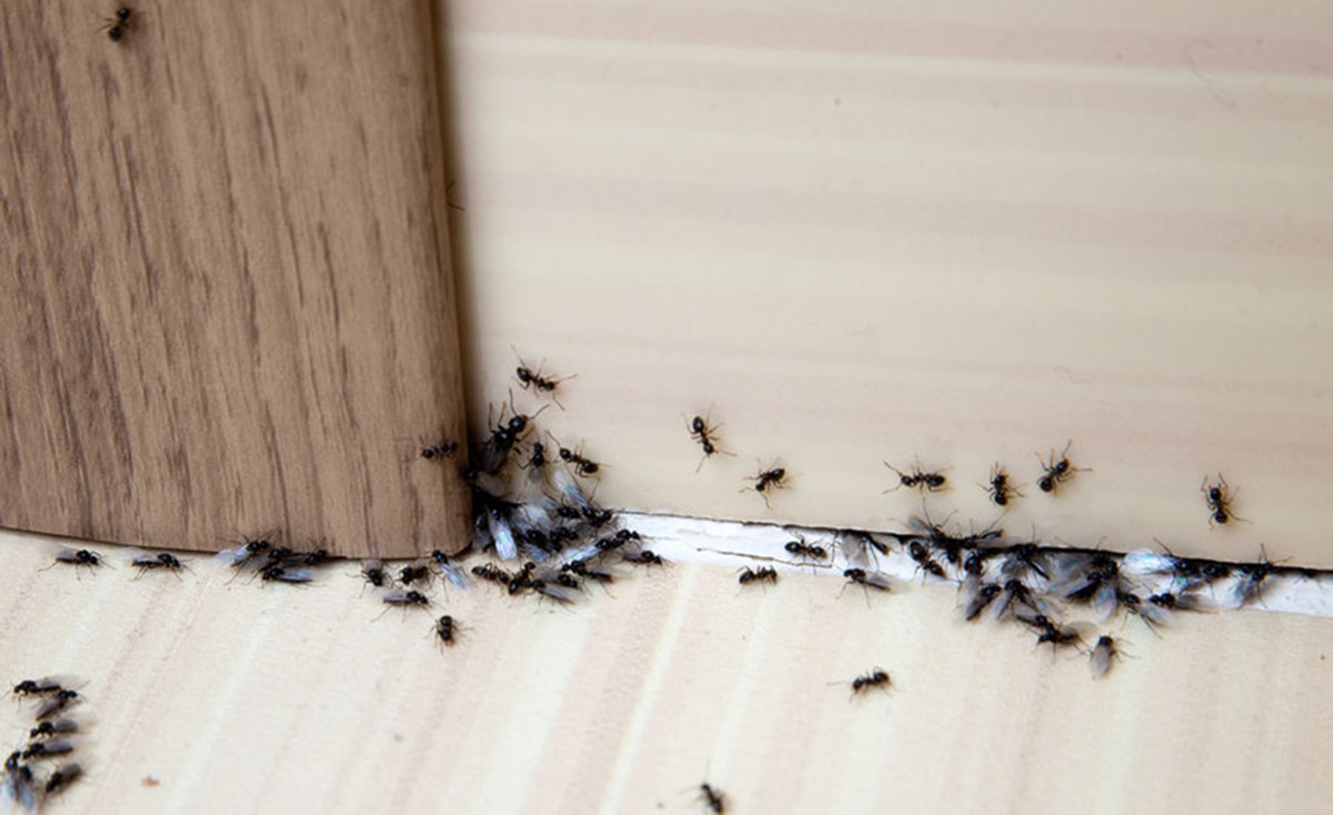 Ants getting into a house