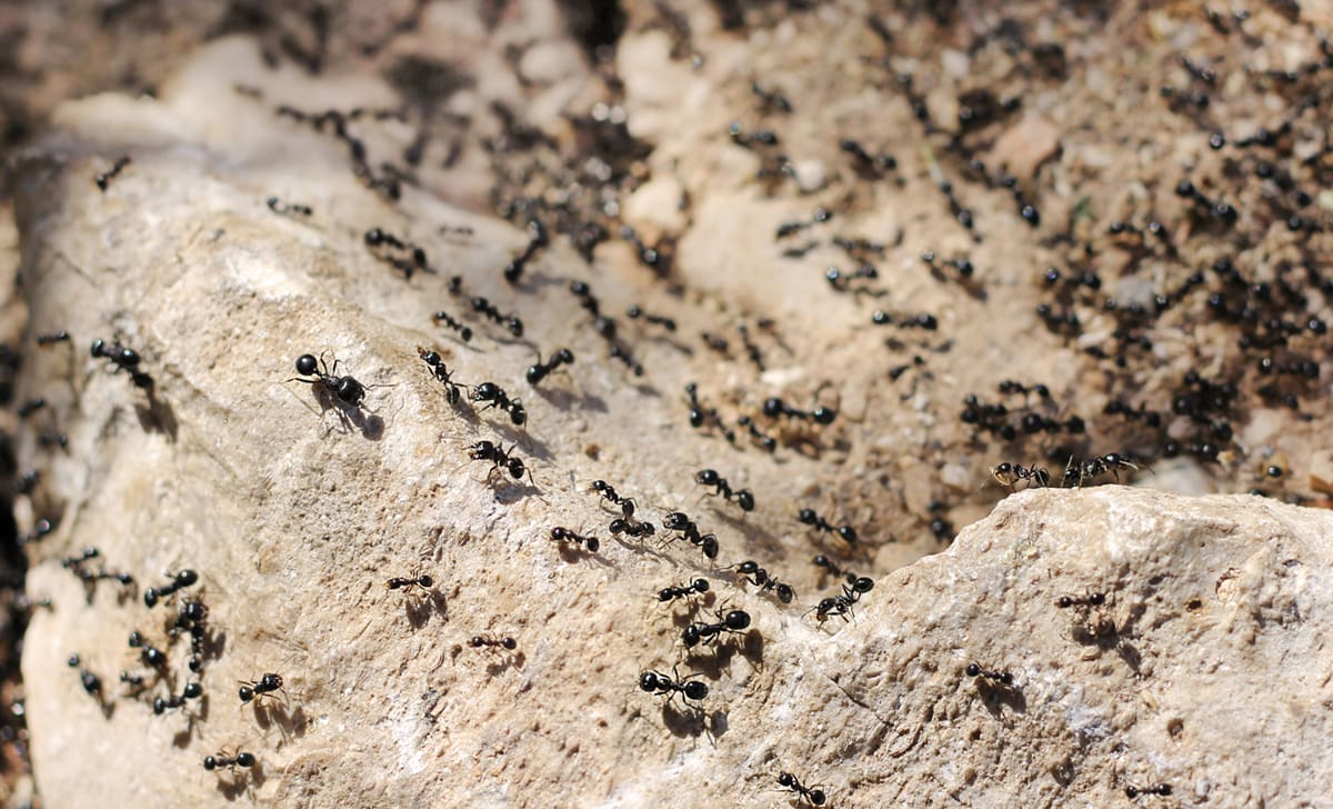 invasion of black ants