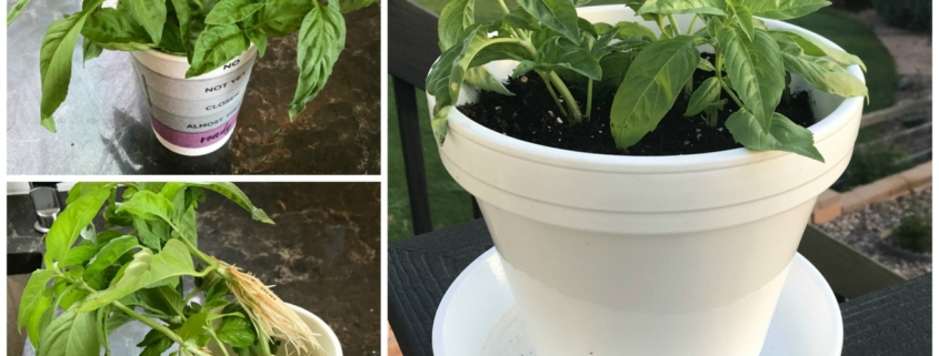 collage showing fresh basil being propgated in a paper cup then planted in a pot
