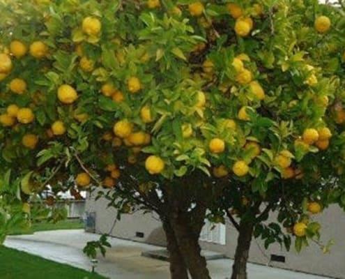 A close up of a lemon tree