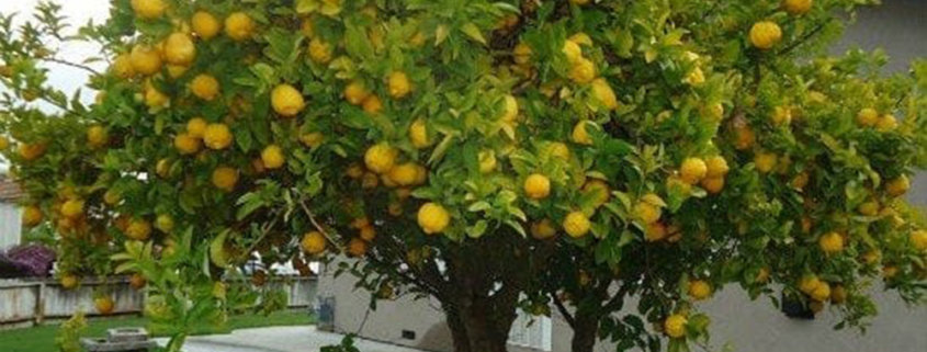 A close up of a lemon tree