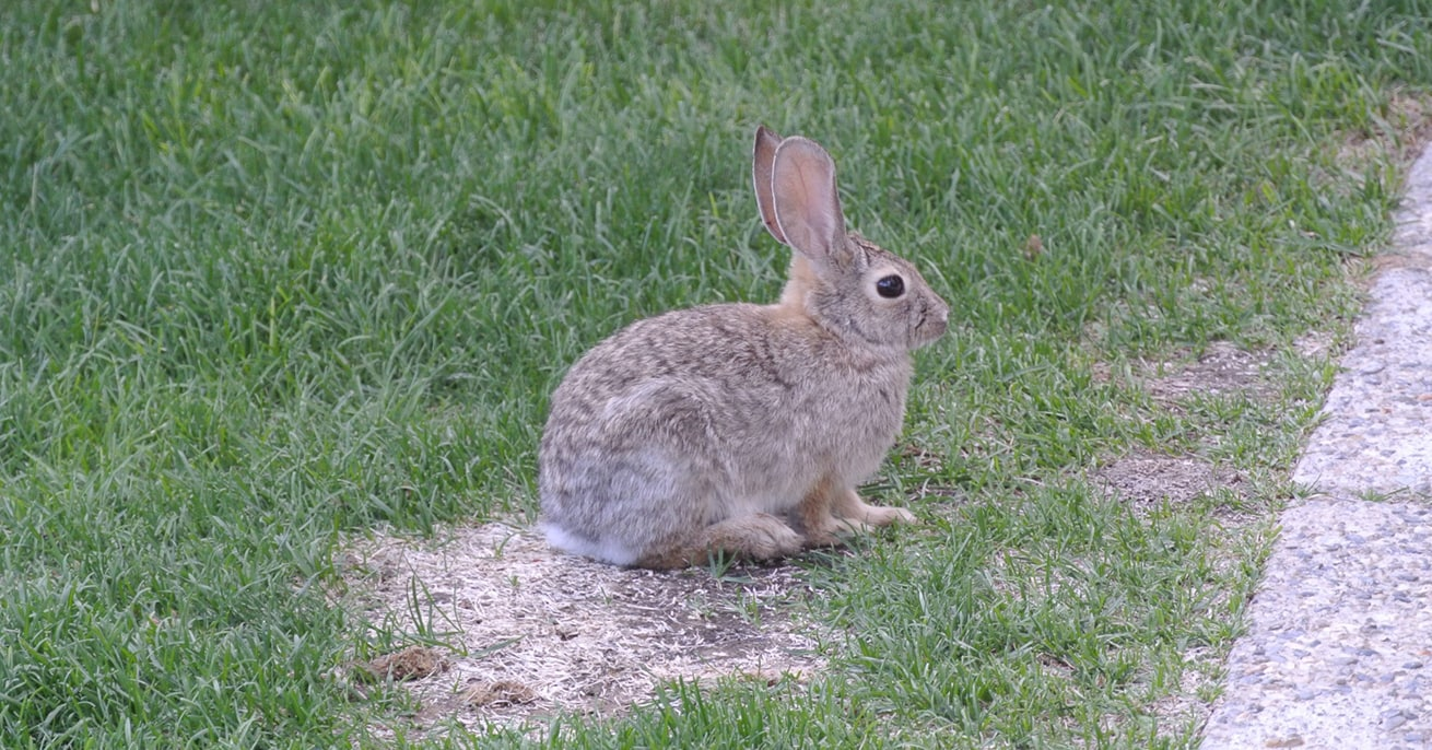 rabbit eating and destroying beautiful lawn