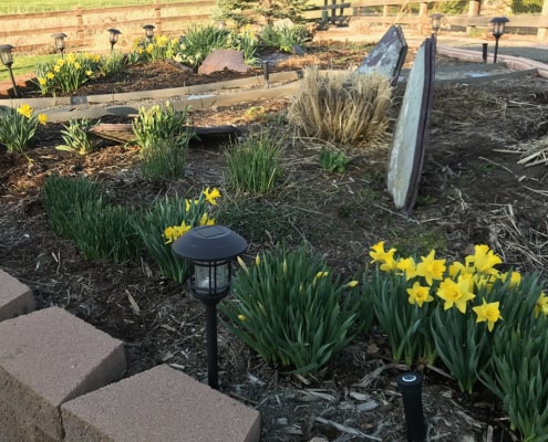 spring garden with daffodils