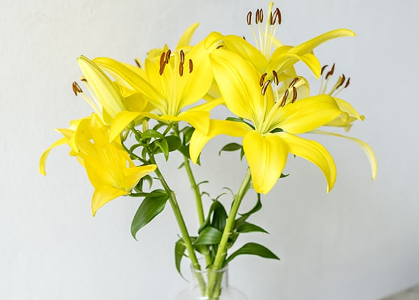 Asiatic lily stargazer in a vase by the wall