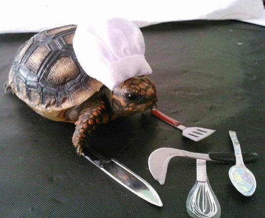 turtle in chefs hat